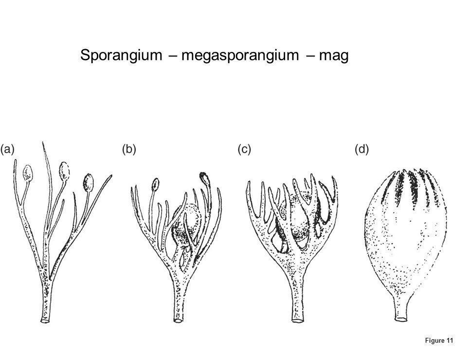 Figure 11 Sporangium – megasporangium – mag