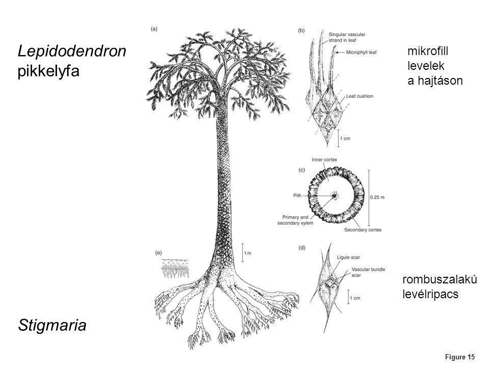Figure 15 Lepidodendron pikkelyfa Stigmaria mikrofill levelek a hajtáson rombuszalakú levélripacs