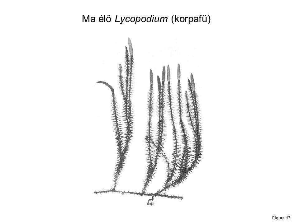 Figure 17 Ma élő Lycopodium (korpafű)