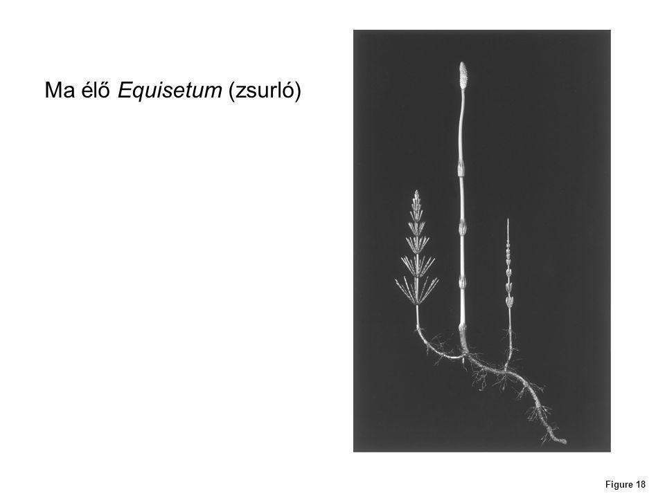 Figure 18 Ma élő Equisetum (zsurló)
