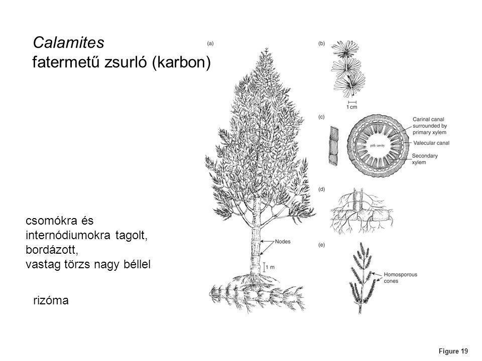 Figure 19 Calamites fatermetű zsurló (karbon) rizóma csomókra és internódiumokra tagolt, bordázott, vastag törzs nagy béllel