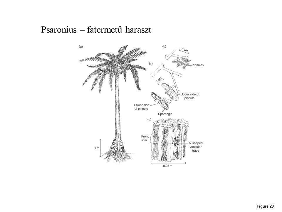 Figure 20 Psaronius – fatermetű haraszt
