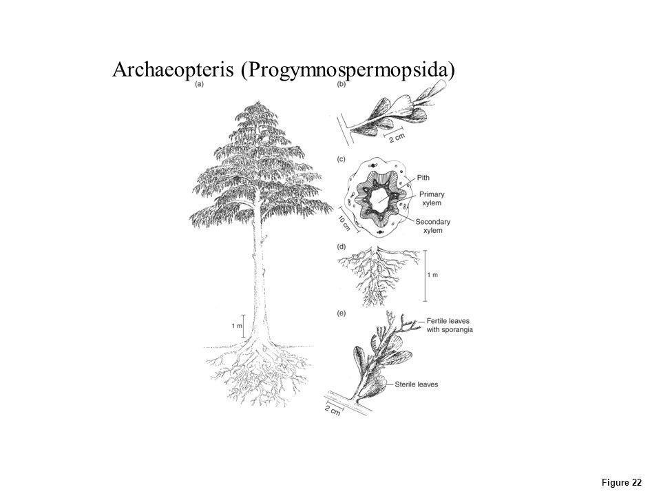 Figure 22 Archaeopteris (Progymnospermopsida)