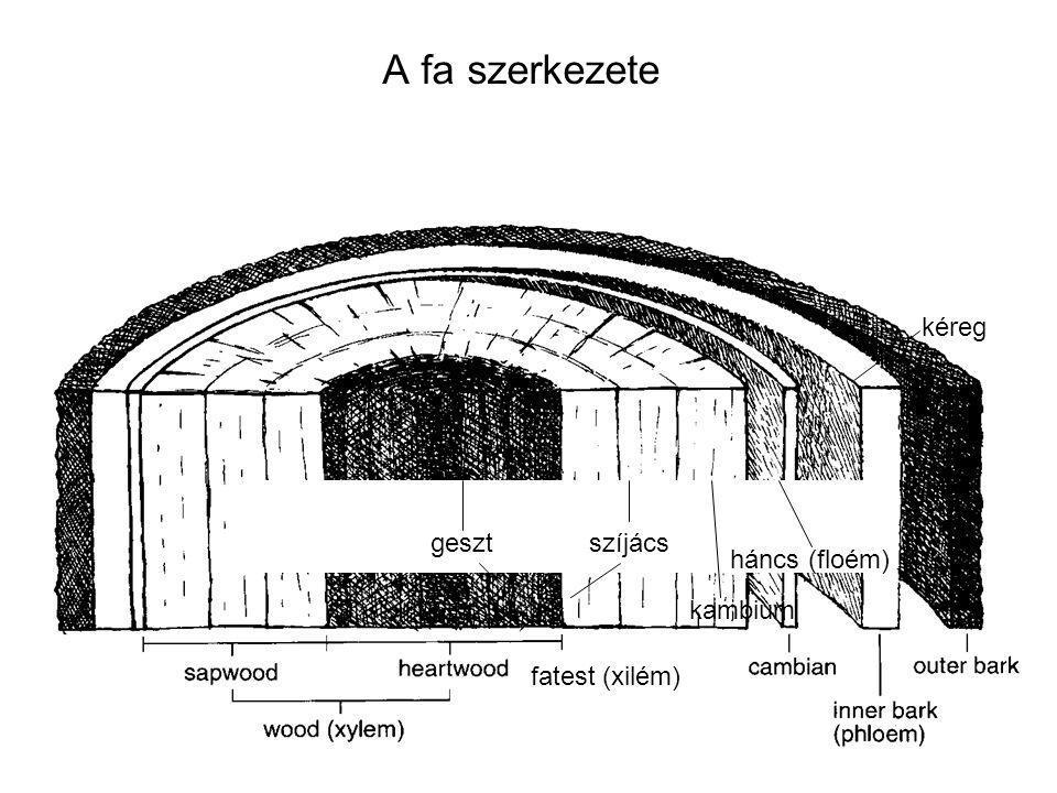 A fa szerkezete kambium kéreg háncs (floém) szíjácsgeszt fatest (xilém)