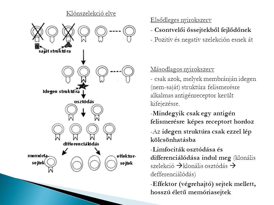 Klónszelekció elve Elsődleges nyirokszerv - Csontvelői őssejtekből fejlődőnek - Pozitív és negatív szelekción esnek át Másodlagos nyirokszerv - csak a