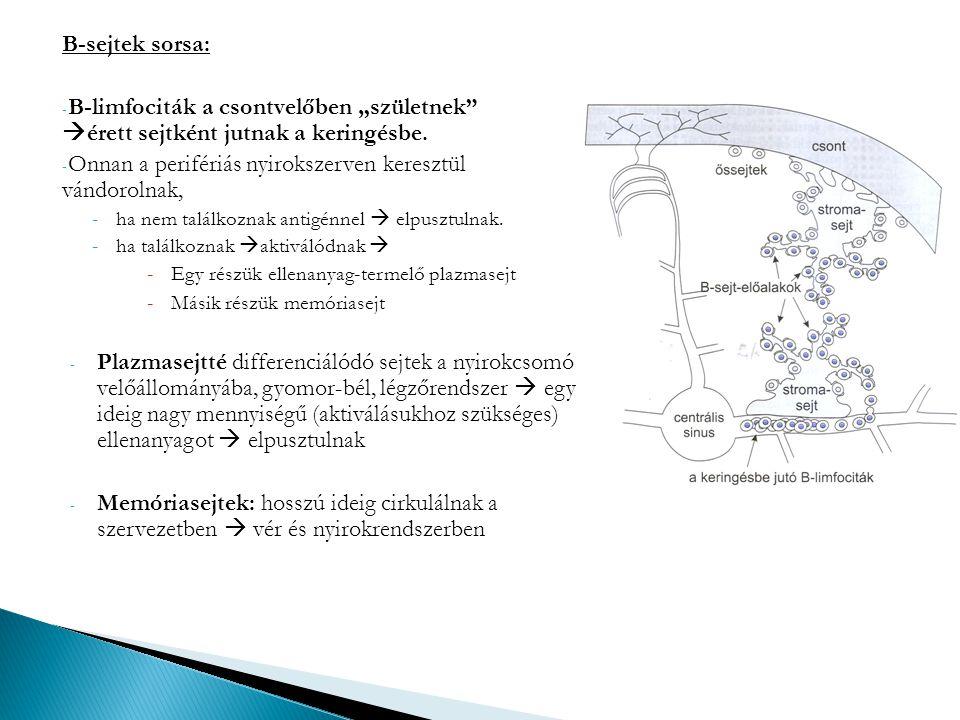 """B-sejtek sorsa: - B-limfociták a csontvelőben """"születnek""""  érett sejtként jutnak a keringésbe. - Onnan a perifériás nyirokszerven keresztül vándoroln"""