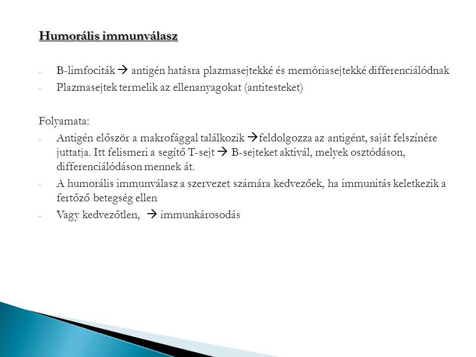 Humorális immunválasz - B-limfociták  antigén hatásra plazmasejtekké és memóriasejtekké differenciálódnak - Plazmasejtek termelik az ellenanyagokat (