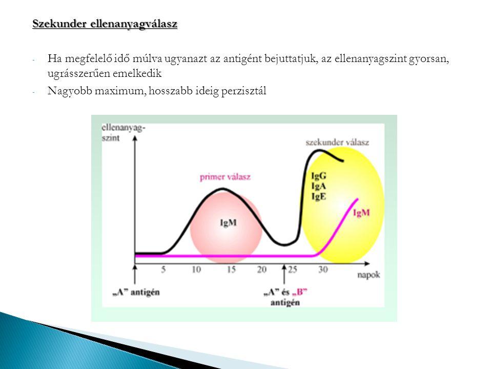 Szekunder ellenanyagválasz - Ha megfelelő idő múlva ugyanazt az antigént bejuttatjuk, az ellenanyagszint gyorsan, ugrásszerűen emelkedik - Nagyobb max
