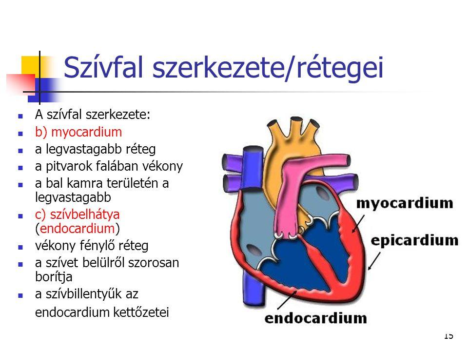 15 Szívfal szerkezete/rétegei A szívfal szerkezete: b) myocardium a legvastagabb réteg a pitvarok falában vékony a bal kamra területén a legvastagabb