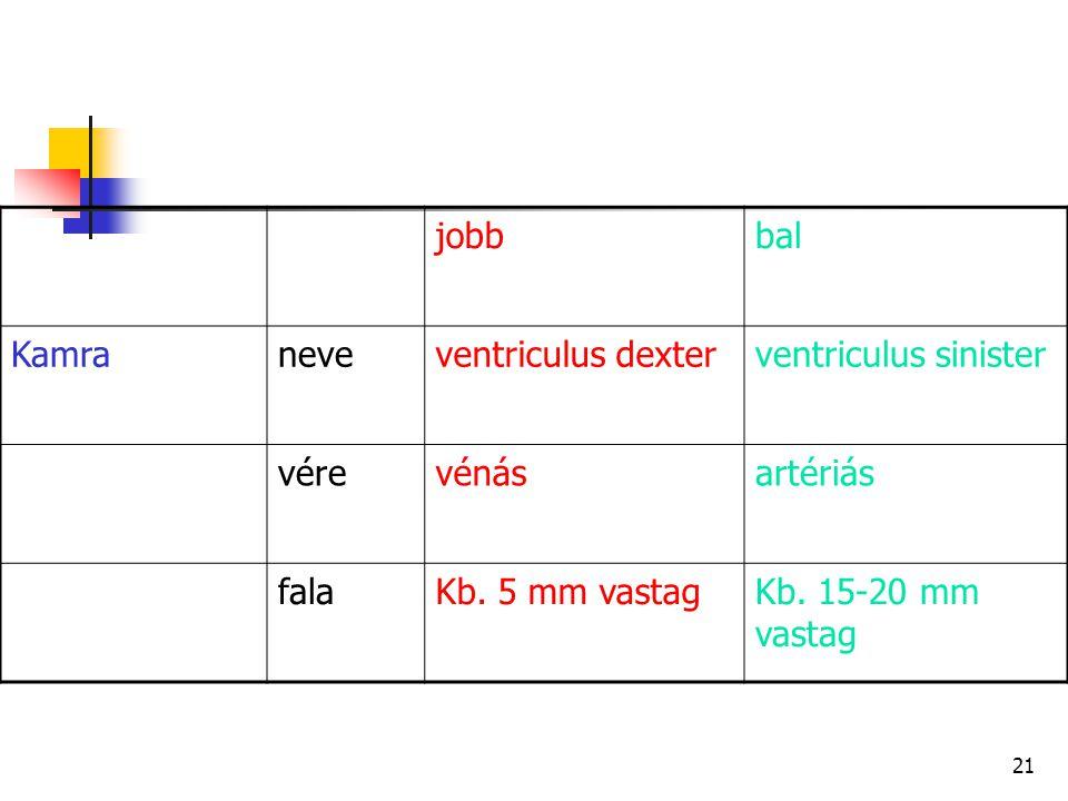 21 jobbbal Kamraneveventriculus dexterventriculus sinister vérevénásartériás falaKb. 5 mm vastagKb. 15-20 mm vastag