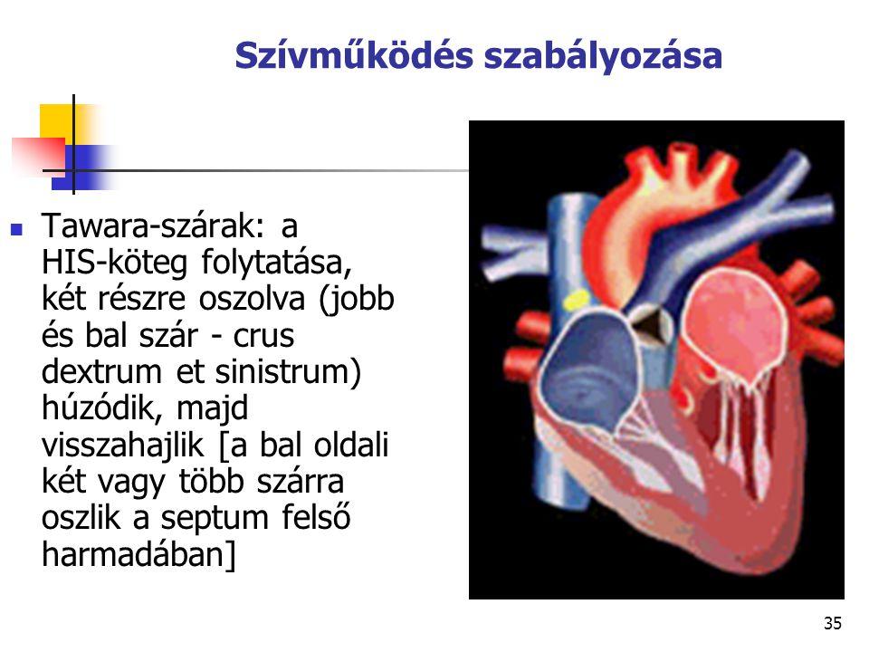 35 Szívműködés szabályozása Tawara-szárak: a HIS ‑ köteg folytatása, két részre oszolva (jobb és bal szár - crus dextrum et sinistrum) húzódik, majd v