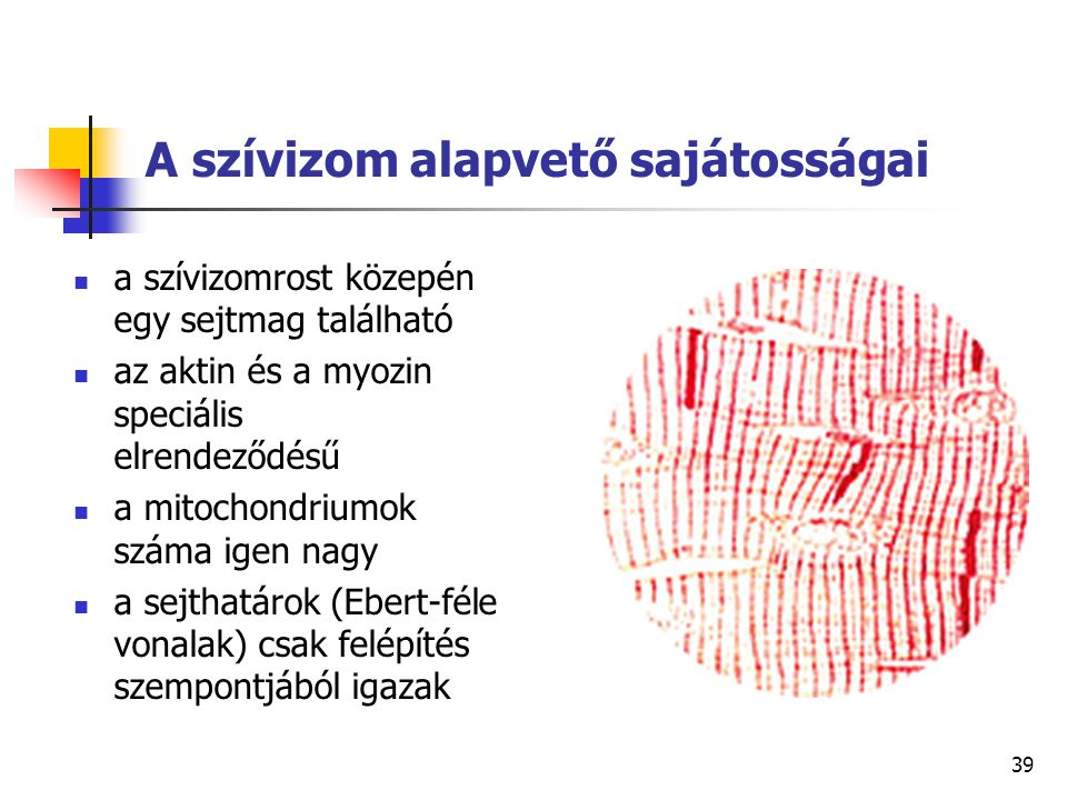 39 A szívizom alapvető sajátosságai a szívizomrost közepén egy sejtmag található az aktin és a myozin speciális elrendeződésű a mitochondriumok száma