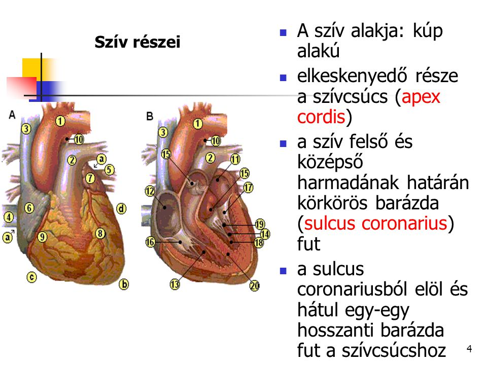 4 Szív részei A szív alakja: kúp alakú elkeskenyedő része a szívcsúcs (apex cordis) a szív felső és középső harmadának határán körkörös barázda (sulcu