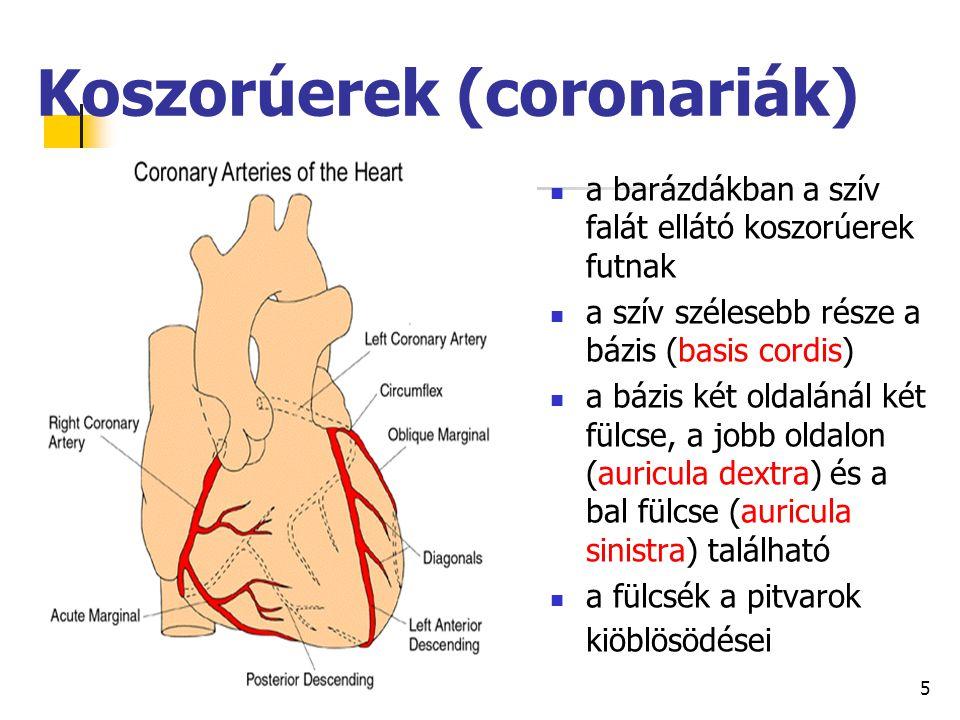 5 Koszorúerek (coronariák) a barázdákban a szív falát ellátó koszorúerek futnak a szív szélesebb része a bázis (basis cordis) a bázis két oldalánál ké
