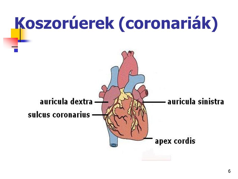 67 A nagyvérkör főbb artériái hónalj verőér (arteria axillaris) felkar verőér (arteria brachialis) orsócsonti verőér (arteria radialis) singcsonti verőér (arteria ulnaris)