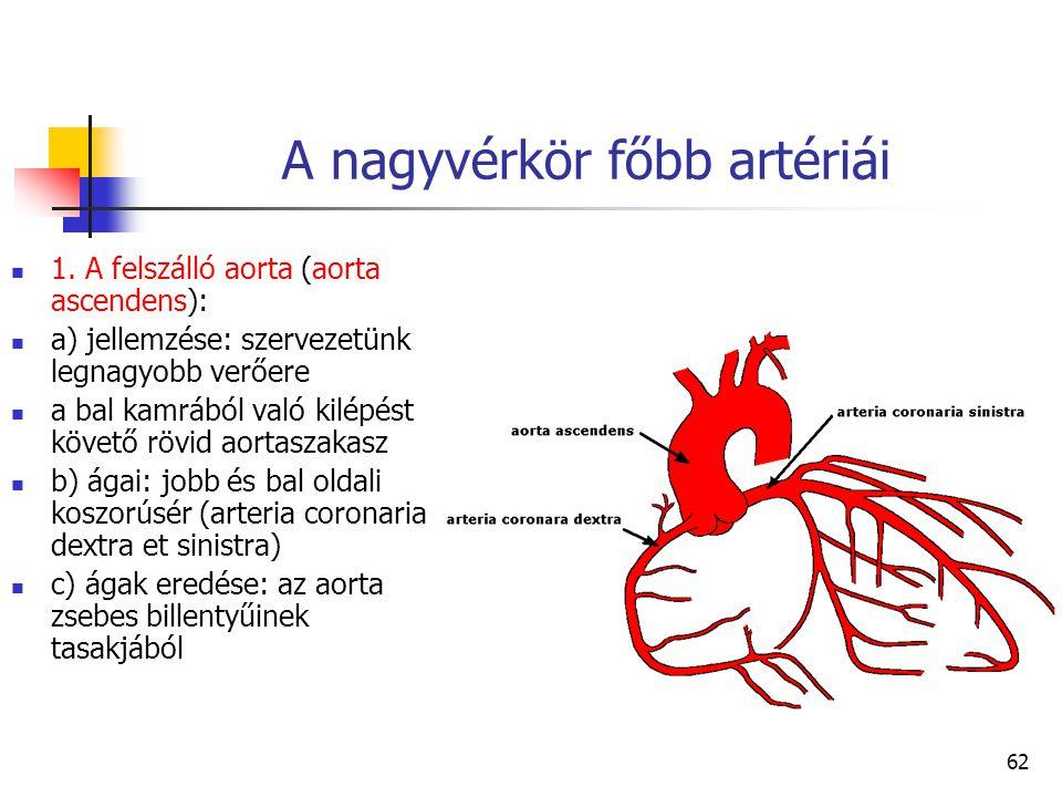 62 A nagyvérkör főbb artériái 1. A felszálló aorta (aorta ascendens): a) jellemzése: szervezetünk legnagyobb verőere a bal kamrából való kilépést köve
