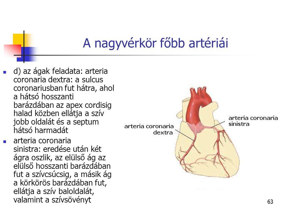 63 A nagyvérkör főbb artériái d) az ágak feladata: arteria coronaria dextra: a sulcus coronariusban fut hátra, ahol a hátsó hosszanti barázdában az ap