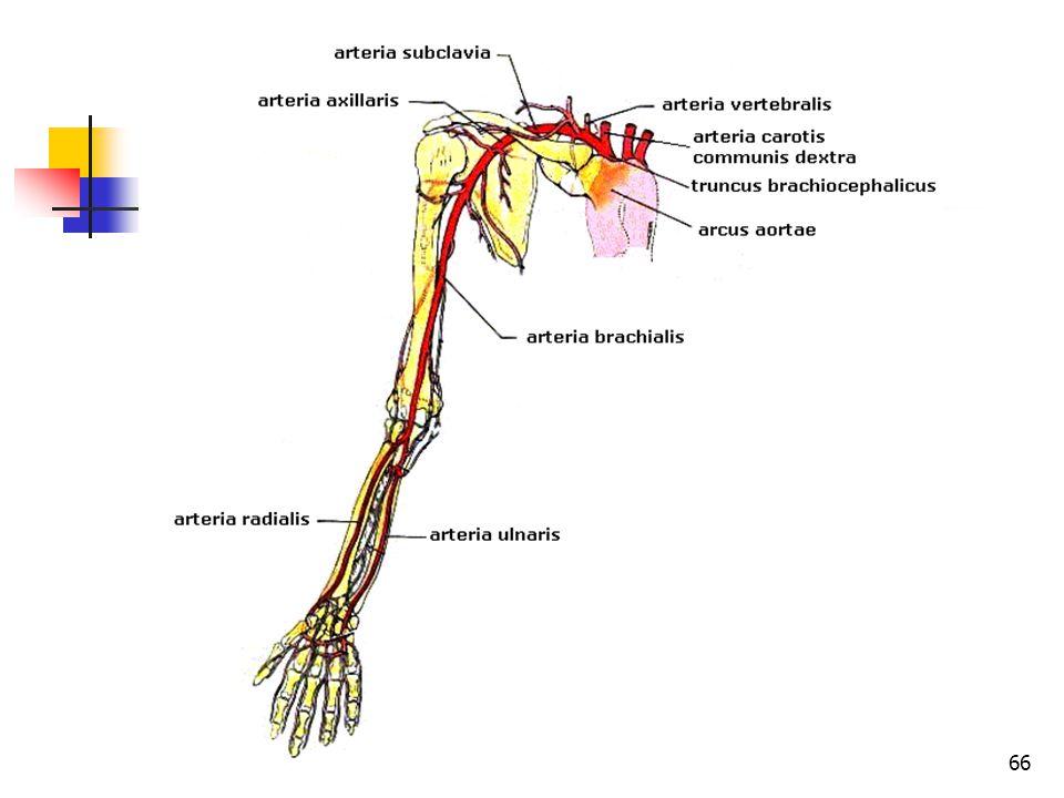 66 A nagyvérkör főbb artériái