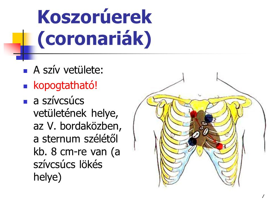 7 A szív vetülete: kopogtatható! a szívcsúcs vetületének helye, az V. bordaközben, a sternum szélétől kb. 8 cm-re van (a szívcsúcs lökés helye)