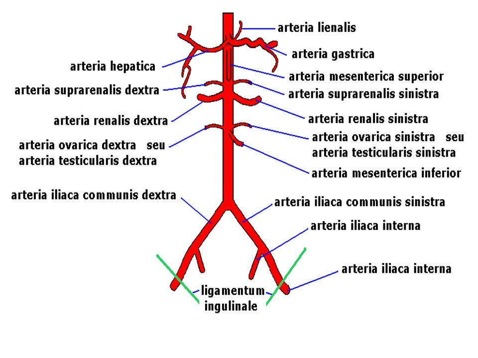 75 A nagyvérkör főbb artériái