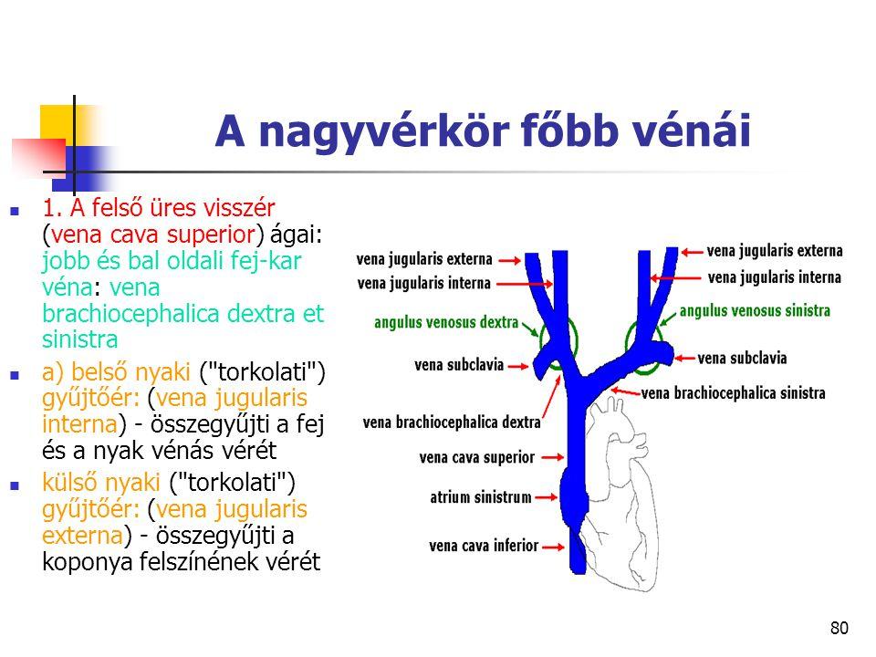 80 A nagyvérkör főbb vénái 1. A felső üres visszér (vena cava superior) ágai: jobb és bal oldali fej-kar véna: vena brachiocephalica dextra et sinistr