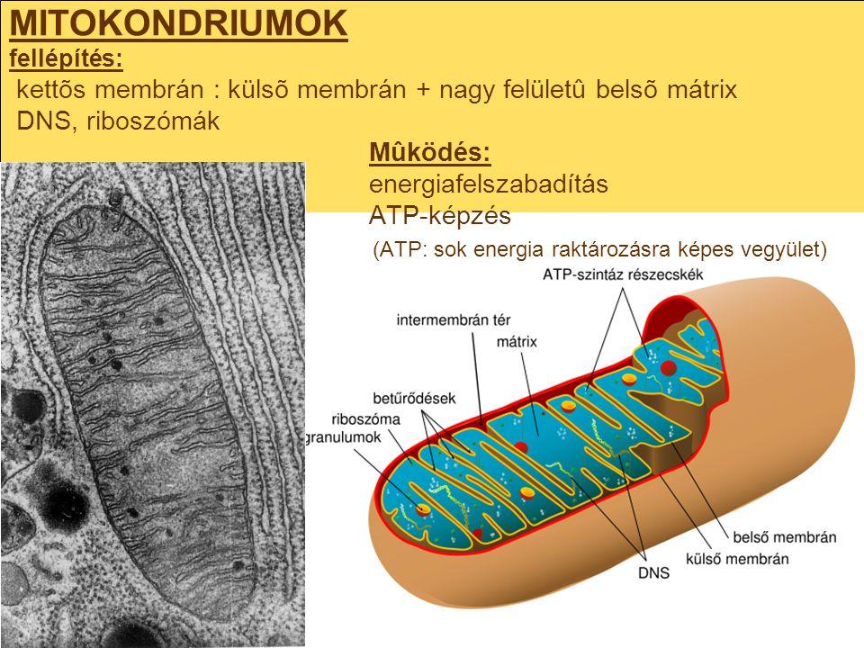 MITOKONDRIUMOK fellépítés: kettõs membrán : külsõ membrán + nagy felületû belsõ mátrix DNS, riboszómák Mûködés: energiafelszabadítás ATP-képzés (ATP: