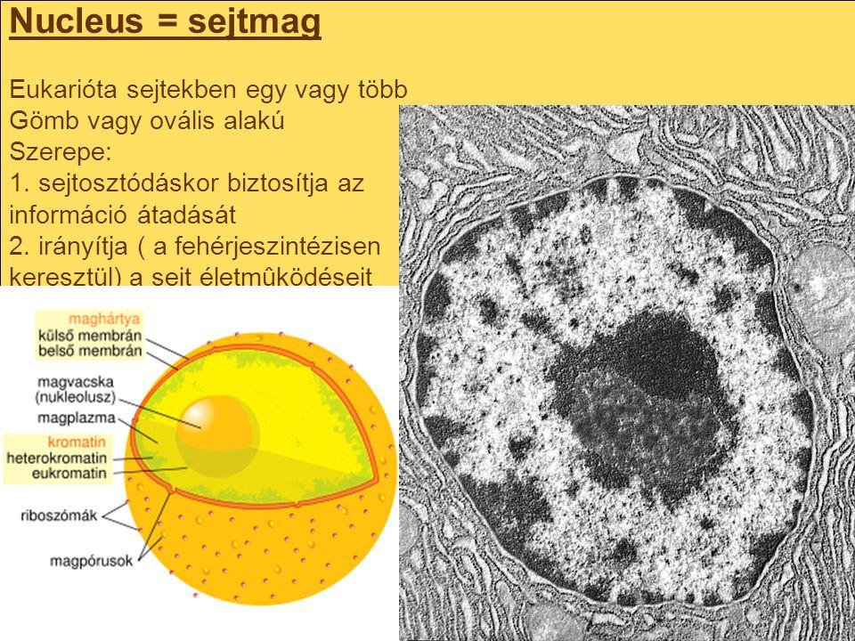 Nucleus = sejtmag Eukarióta sejtekben egy vagy több Gömb vagy ovális alakú Szerepe: 1. sejtosztódáskor biztosítja az információ átadását 2. irányítja