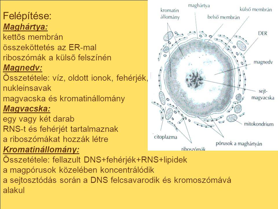 Felépítése: Maghártya: kettõs membrán összeköttetés az ER-mal riboszómák a külsõ felszínén Magnedv: Összetétele: víz, oldott ionok, fehérjék, nukleins