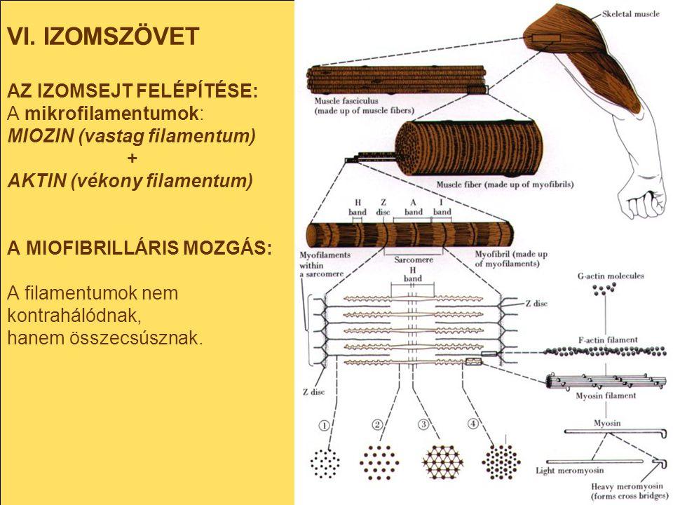 VI. IZOMSZÖVET AZ IZOMSEJT FELÉPÍTÉSE: A mikrofilamentumok: MIOZIN (vastag filamentum) + AKTIN (vékony filamentum) A MIOFIBRILLÁRIS MOZGÁS: A filament