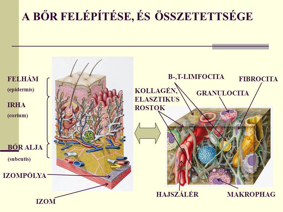 A BŐR FELÉPÍTÉSE, ÉS ÖSSZETETTSÉGE FELHÁM (epidermis) IRHA (corium) BŐR ALJA (subcutis) IZOMPÓLYA IZOM HAJSZÁLÉRMAKROPHAG GRANULOCITA FIBROCITA B-,T-LIMFOCITA KOLLAGÉN, ELASZTIKUS ROSTOK