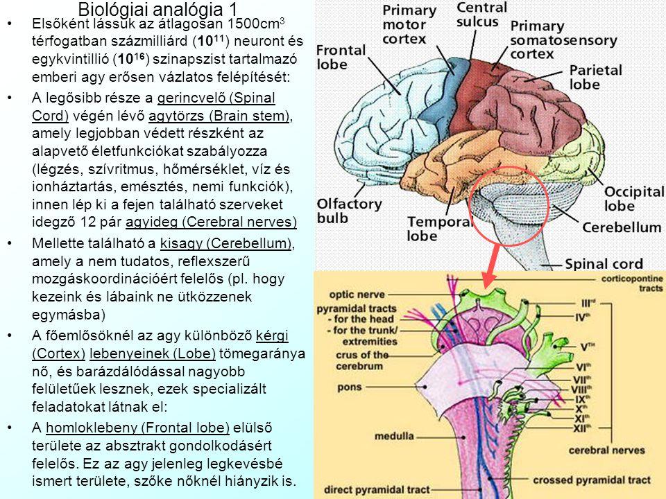 Biológiai analógia 1 Elsőként lássuk az átlagosan 1500cm 3 térfogatban százmilliárd (10 11 ) neuront és egykvintillió (10 16 ) szinapszist tartalmazó emberi agy erősen vázlatos felépítését: A legősibb része a gerincvelő (Spinal Cord) végén lévő agytörzs (Brain stem), amely legjobban védett részként az alapvető életfunkciókat szabályozza (légzés, szívritmus, hőmérséklet, víz és ionháztartás, emésztés, nemi funkciók), innen lép ki a fejen található szerveket idegző 12 pár agyideg (Cerebral nerves) Mellette található a kisagy (Cerebellum), amely a nem tudatos, reflexszerű mozgáskoordinációért felelős (pl.