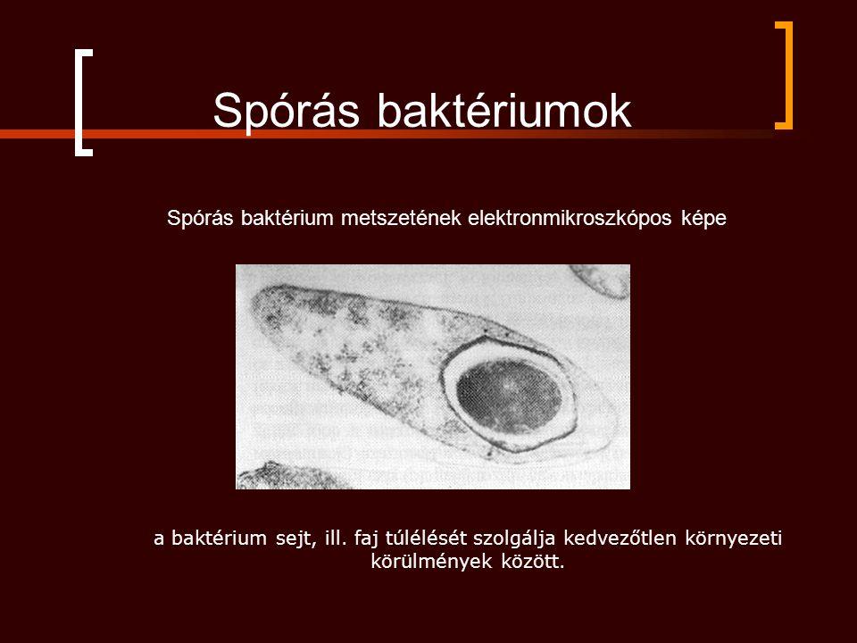 Spórás baktériumok a baktérium sejt, ill. faj túlélését szolgálja kedvezőtlen környezeti körülmények között. Spórás baktérium metszetének elektronmikr