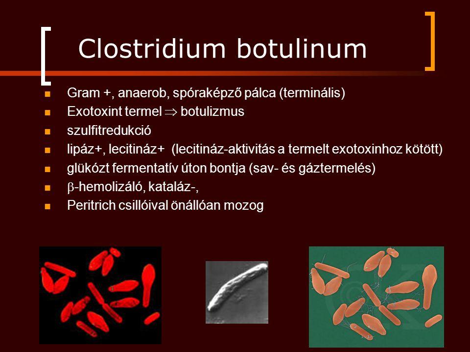 Clostridium botulinum Gram +, anaerob, spóraképző pálca (terminális) Exotoxint termel  botulizmus szulfitredukció lipáz+, lecitináz+ (lecitináz-aktivitás a termelt exotoxinhoz kötött) glükózt fermentatív úton bontja (sav- és gáztermelés)  -hemolizáló, kataláz-, Peritrich csillóival önállóan mozog