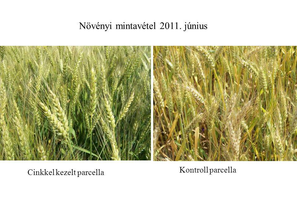 Növényi mintavétel 2011. június Cinkkel kezelt parcella Kontroll parcella