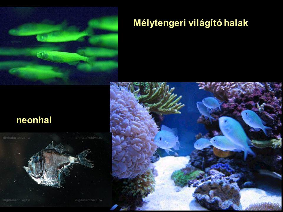 neonhal Mélytengeri világító halak