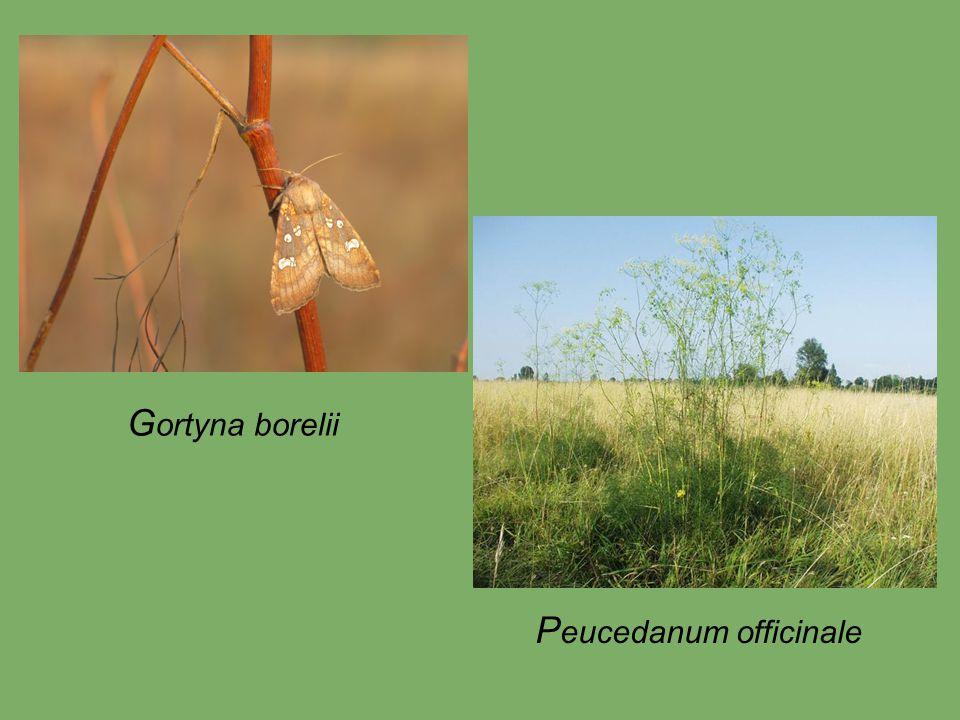 G ortyna borelii P eucedanum officinale