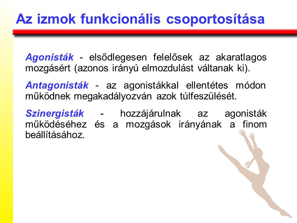 Agonisták - elsődlegesen felelősek az akaratlagos mozgásért (azonos irányú elmozdulást váltanak ki).