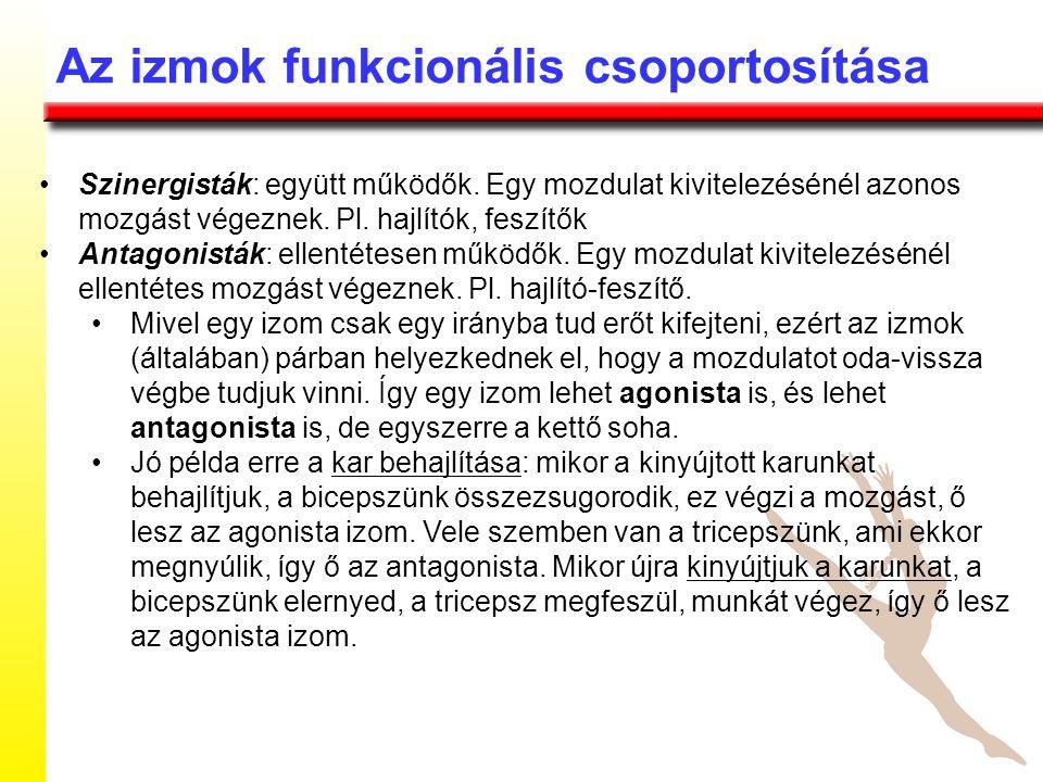 Az izmok funkcionális csoportosítása Szinergisták: együtt működők. Egy mozdulat kivitelezésénél azonos mozgást végeznek. Pl. hajlítók, feszítők Antago