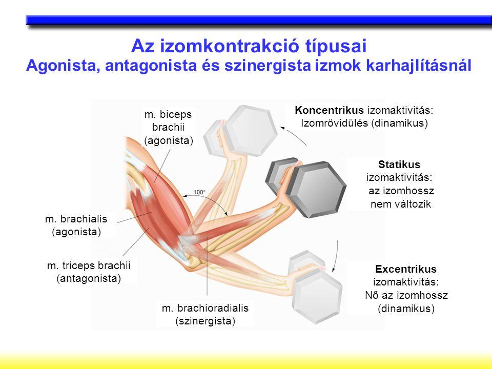 Az izomkontrakció típusai Agonista, antagonista és szinergista izmok karhajlításnál m. biceps brachii (agonista) m. brachialis (agonista) m. triceps b