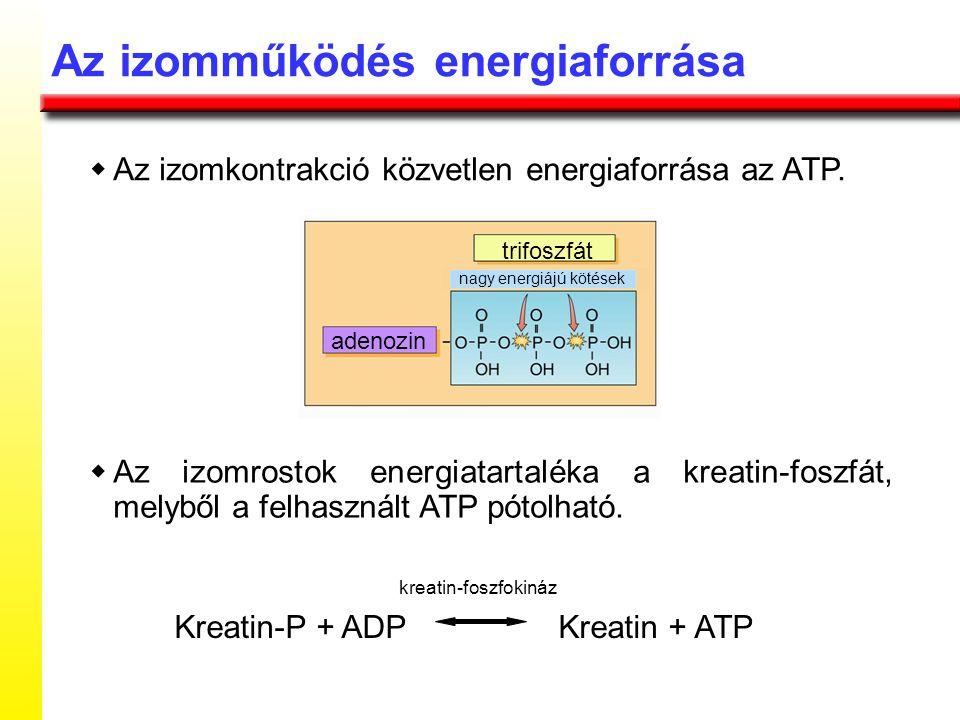 Az izomműködés energiaforrása  Az izomkontrakció közvetlen energiaforrása az ATP.  Az izomrostok energiatartaléka a kreatin-foszfát, melyből a felha