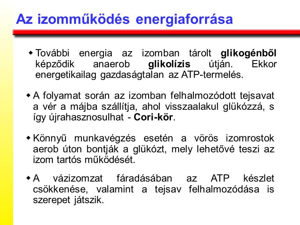  További energia az izomban tárolt glikogénből képződik anaerob glikolízis útján. Ekkor energetikailag gazdaságtalan az ATP-termelés. Az izomműködés