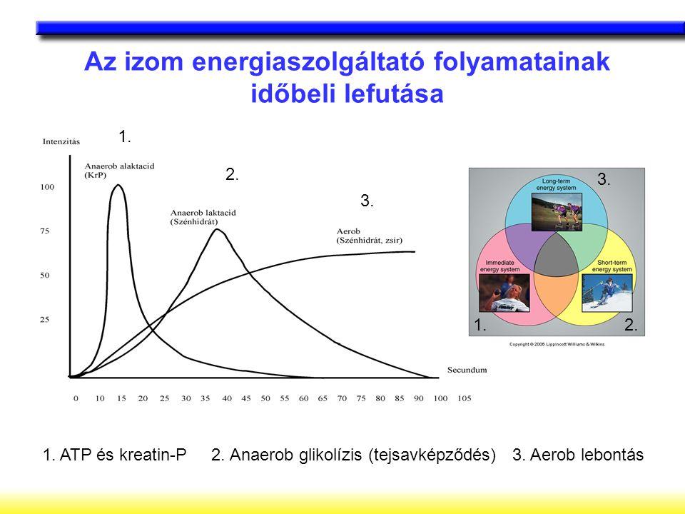 Az izom energiaszolgáltató folyamatainak időbeli lefutása 1. ATP és kreatin-P 2. Anaerob glikolízis (tejsavképződés) 3. Aerob lebontás 1. 2. 3. 1.2. 3