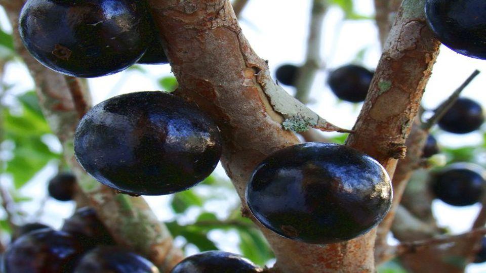 A gyümölcs nagyon egészséges, sok antioxidánst és gyulladásgátló összetevőt tartalmaz..