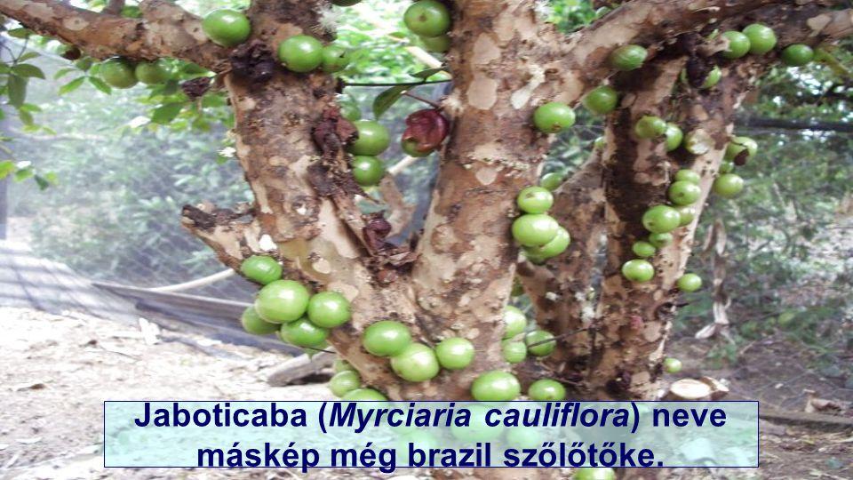 E növény otthona Dél-Amerika, Paraguay, Argentína és főleg Brazília.