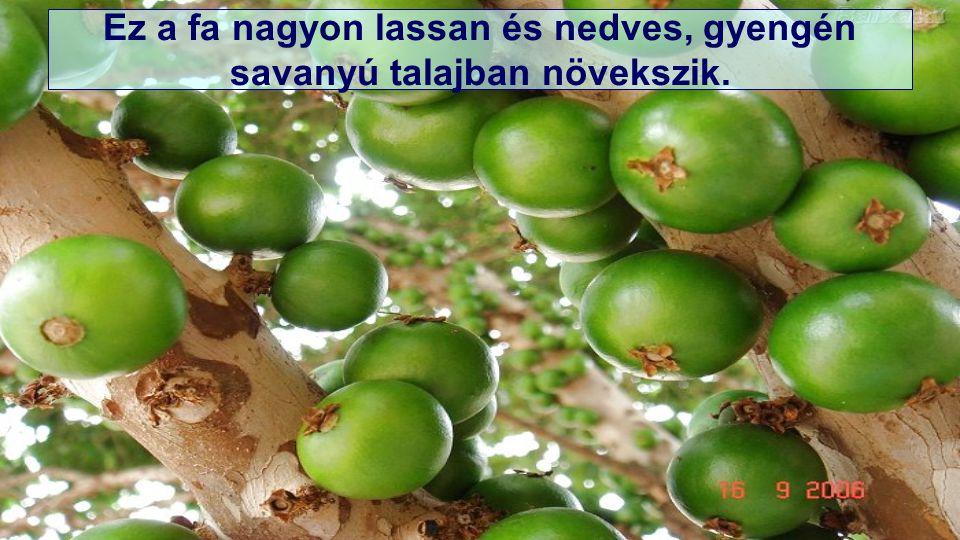 Jaboticaba (Myrciaria cauliflora) neve máskép még brazil szőlőtőke.