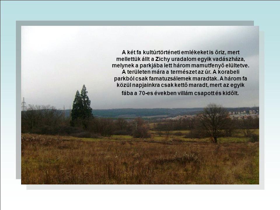 A két fa kultúrtörténeti emlékeket is őriz, mert mellettük állt a Zichy uradalom egyik vadászháza, melynek a parkjába lett három mamutfenyő elültetve.