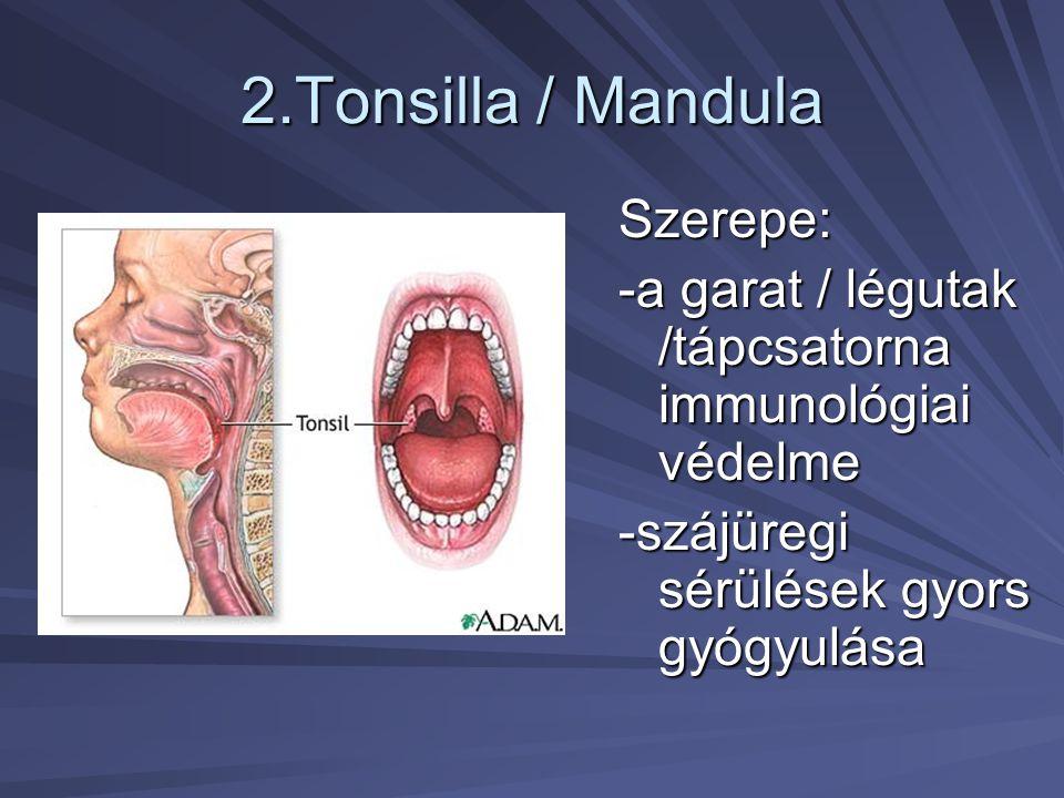 2.Tonsilla / Mandula Szerepe: -a garat / légutak /tápcsatorna immunológiai védelme -szájüregi sérülések gyors gyógyulása