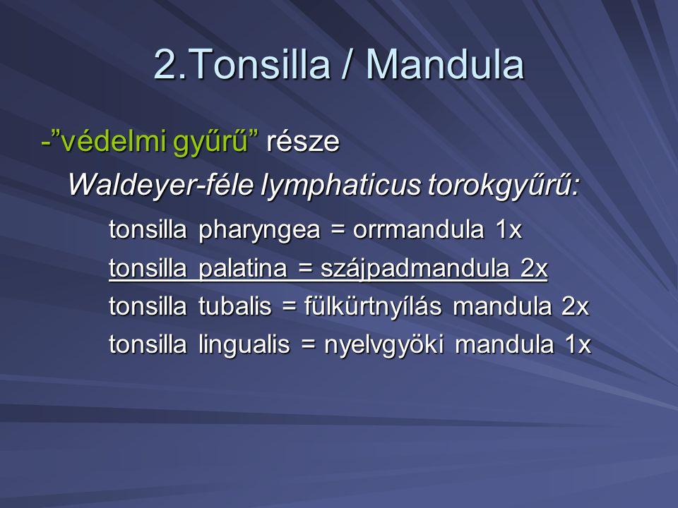 """2.Tonsilla / Mandula -""""védelmi gyűrű"""" része Waldeyer-féle lymphaticus torokgyűrű: tonsilla pharyngea = orrmandula 1x tonsilla palatina = szájpadmandul"""