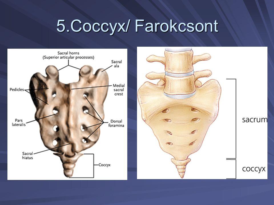 5.Coccyx/ Farokcsont