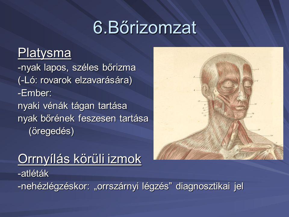 6.Bőrizomzat Platysma -nyak lapos, széles bőrizma (-Ló: rovarok elzavarására) -Ember: nyaki vénák tágan tartása nyak bőrének feszesen tartása (öregedé